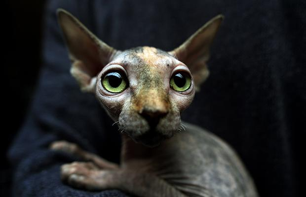 hairless-canadian-sphynx-at-international-feline-beauty-contest-in-sofia