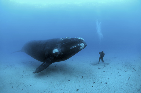 Man and Whale size each other up ~ Winner of National Geographics 2008 Wildlife Photographer of the Year for Underwater Photography by Brian Skerry