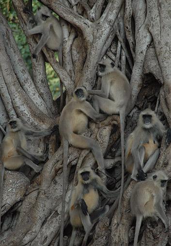 monkeys-in-rathambore-natl-park1