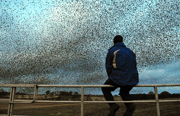 starlings-in-scotland