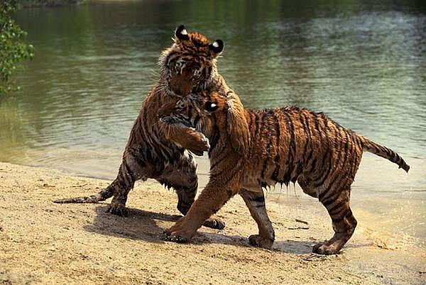 tigers_full