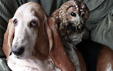 hound-owl-460_1215062c