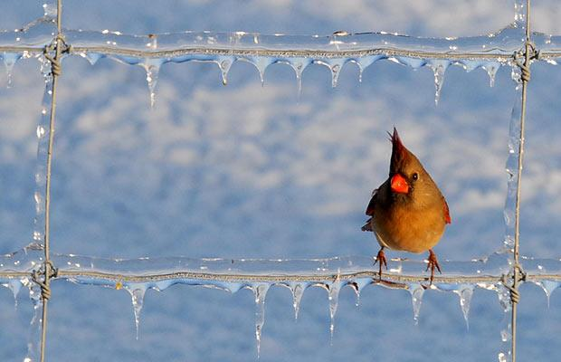 a-cardinal-sits-on-a-fence-near-maysville-ky-as-the-ice-begins-to-melt