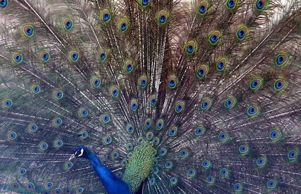 Peacock at Kabul Zoo in Afghanistan
